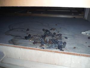 天井裏のハクビシン糞尿